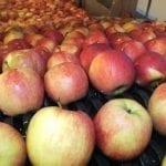 Zapasy polskich jabłek