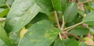 Parch jabłoni – stan na dzisiaj i perspektywa
