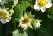 Ukraina: szkody w truskawkach