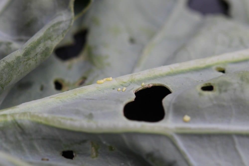 Fot. 1. Jaja tantnisia na nerwie liścia kapusty głowiastej białej, fot. K. Kupczak
