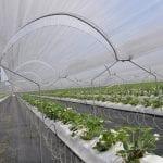 Truskawka w Tyńcu – jedyna taka plantacja, nie tylko w Polsce