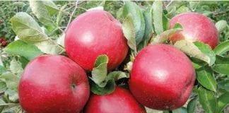 Jabłka i borówki  – eksport do Indonezji