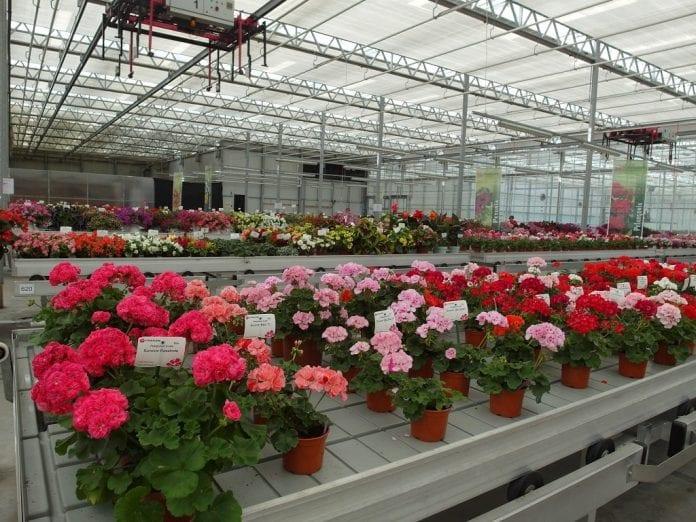 Na Dniach Otwartych firmy Vitroflora zaprezentowano bardzo duży wybór roślin balkonowo-rabatowych - fot. I.Sprzączka