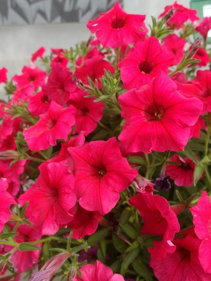Petunia Supertunia® Vista 'Paradise' - fot. I.Sprzączka