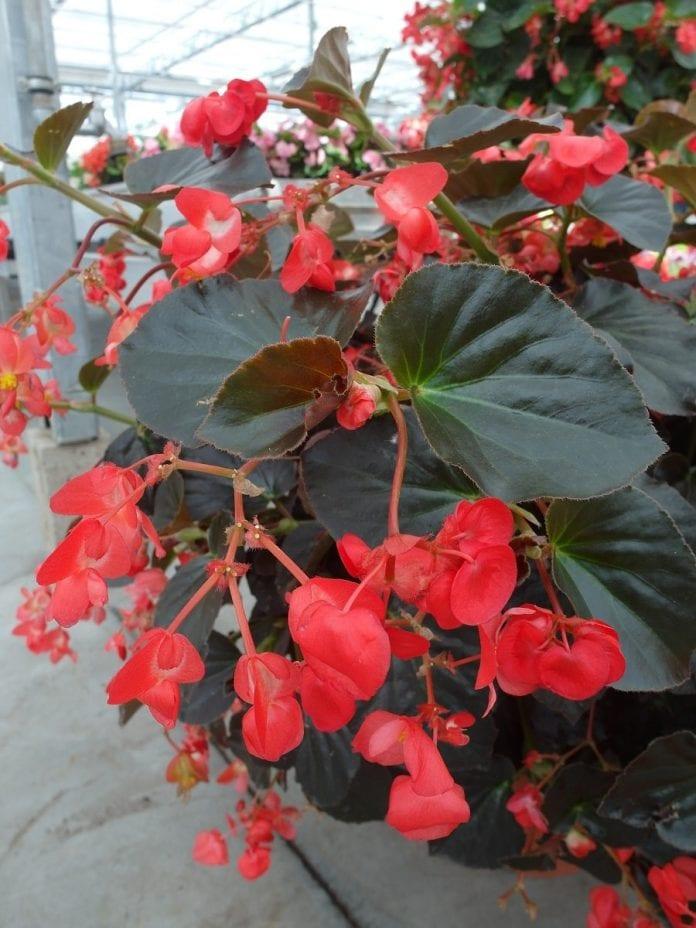 Begonia Viking XL 'Red on Chocolate' - fot. I.Sprzączka