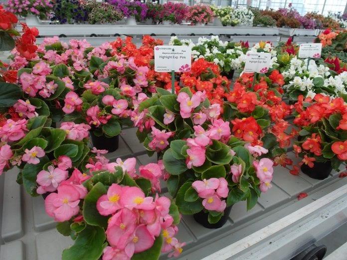 Przedstawicielki grupy Highlight begonii stale kwitnącej - fot. I.Sprzączka