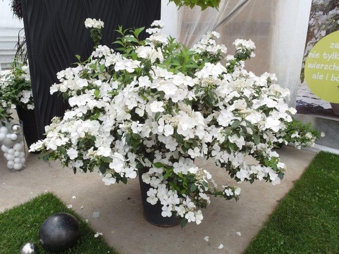 Obsypana kwiatami na całej długości pędów hortensja 'USHYD0405' Runaway Bride Snow White® - fot. I.Sprzączka