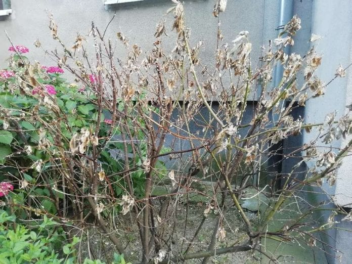 Zamierający krzew silnie opanowany przez przylepnicę (na wszystkich pędach widoczne woreczki jajowe)