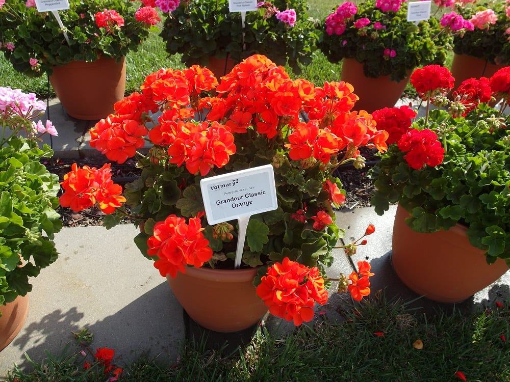 Pelargonia rabatowa Grandeur® Classic 'Orange'