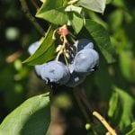 Owoce jagodowe liderem rynku hurtowego