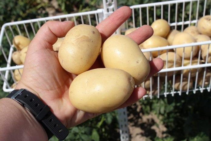 Ochrona ziemniaków w praktyce