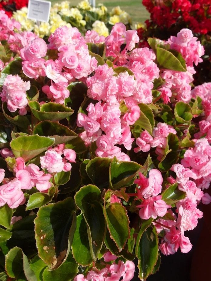 Begonia stale kwitnąca Paso Doble 'Candy Pink' - fot. I.Sprzączka