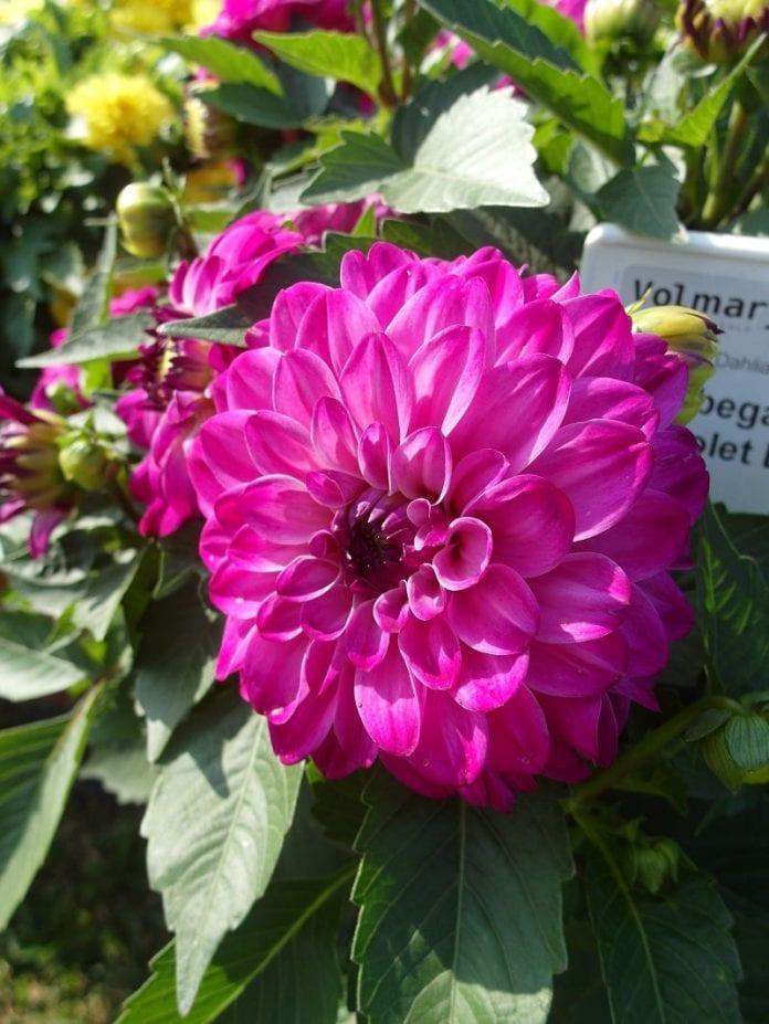 Dalia ogrodowa Lubega® Power 'Violet Bicolor' - fot. I.Sprzączka