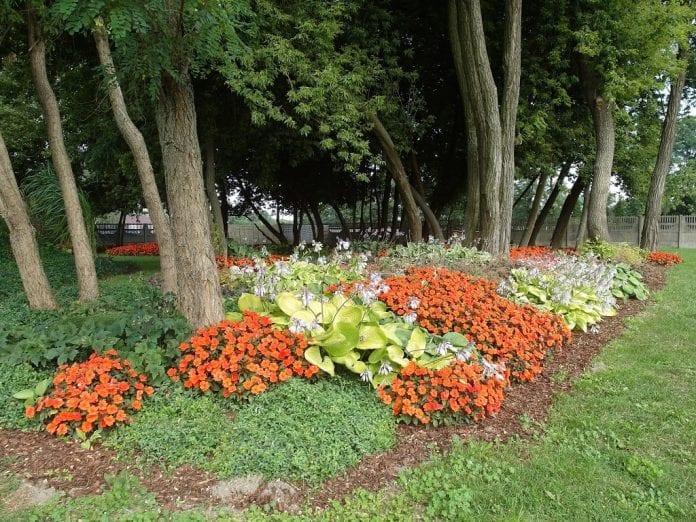 W nasadzeniach pod drzewami wyróżniał się niecierpek nowogwinejski SunPatiens® 'Orange' - fot. I.Sprzączka