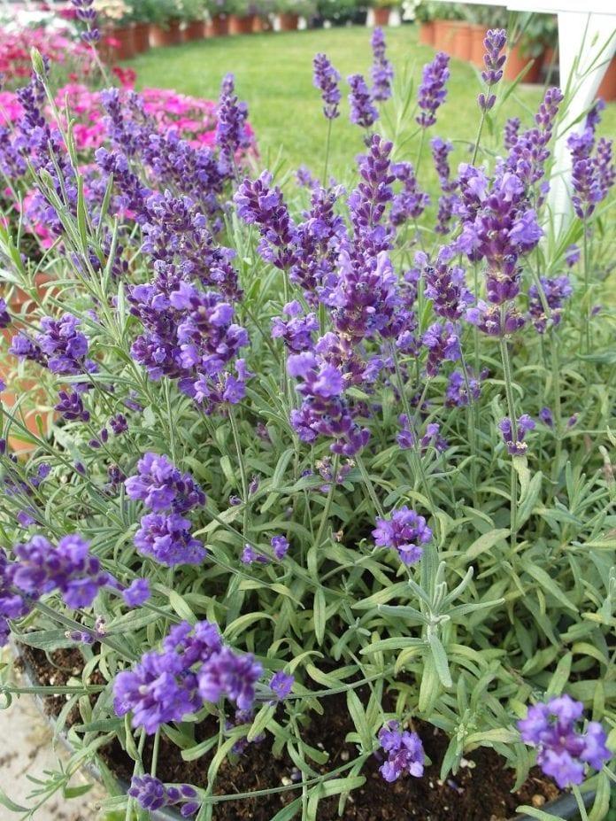 Lawenda wąskolistna Vienco® Purple - fot. I.Sprzączka