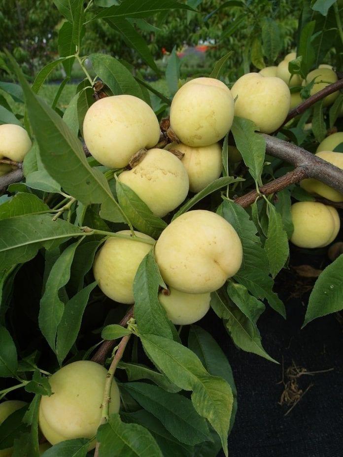 Brzoskwinie FruitMe® 'Ice Peach' - fot. I.Sprzączka