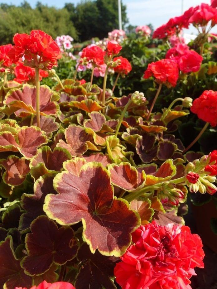Pelargonia rabatowa Grandeur® Deco 'Caramel Red' - fot. I.Sprzączka