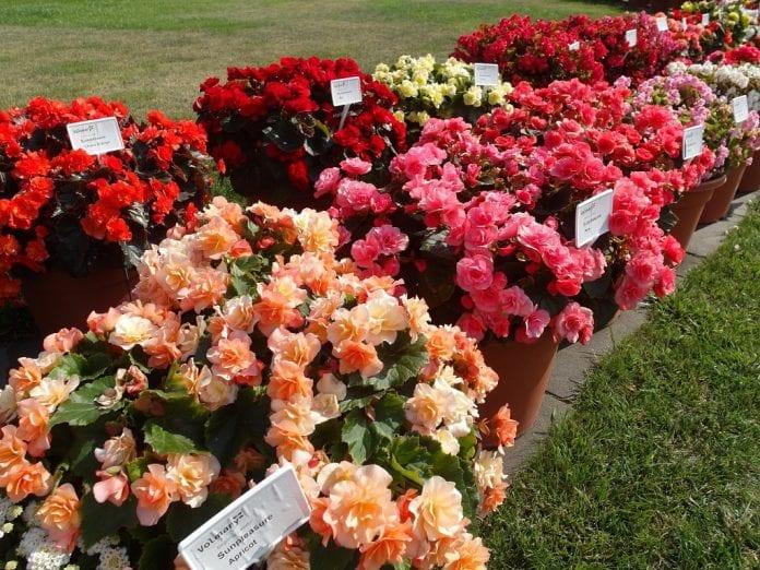 Begonie ogrodowe z grupy Sunpleasure® dobrze rosną nawet w słońcu - fot. I.Sprzączka