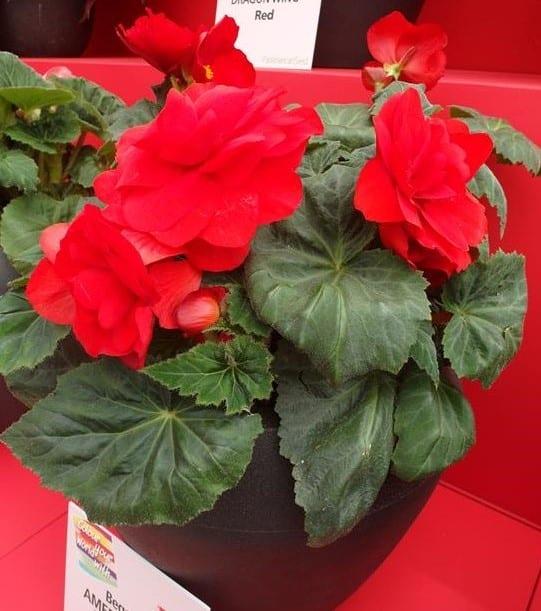 Begonia- AmeriHybrid- Roseform-Red1