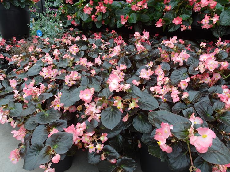 Begonia-Big-Pink-Bronze-Leaf