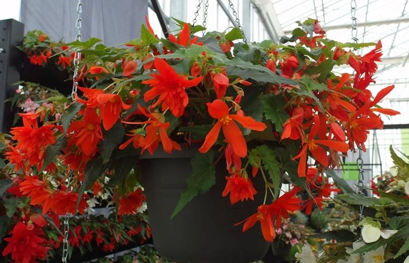 Begonia-Funky-Orange