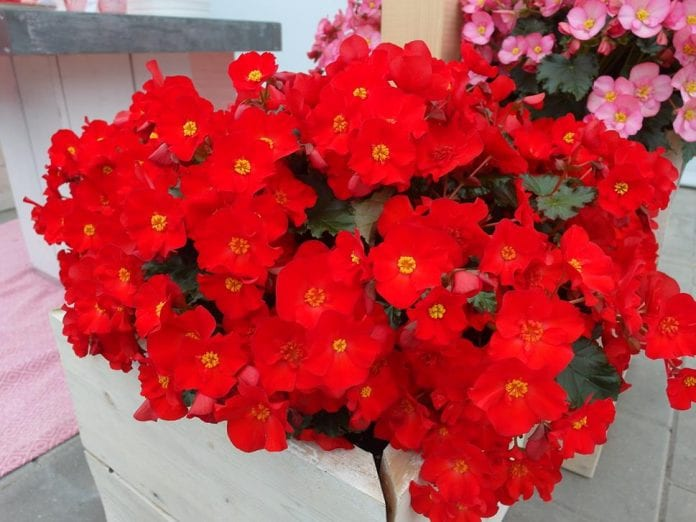 Begonia Dreams® GardenMacaRouge℗