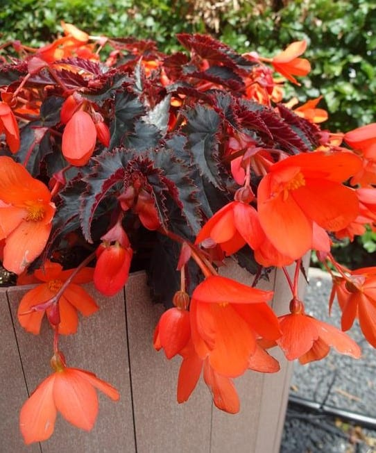 Begonia-Rivulet-Orange-River