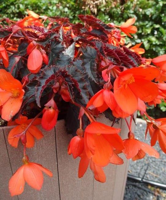 Begonia-Rivulet-Orange-River