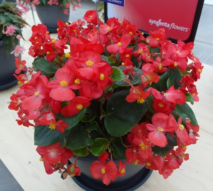 Begonia-Topspin-'Red'