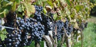 Uwaga producenci i przedsiębiorcy wyrabiający wino