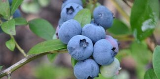 Blueberry scorch virus – zagraża uprawom borówki wysokiej w Europie