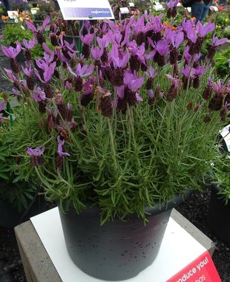 Lawenda-francuska-Violeta-Purple