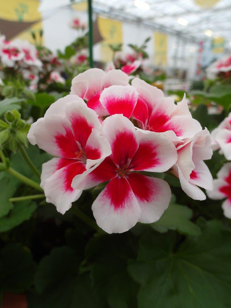 Pelargonia Andromeda White Splash