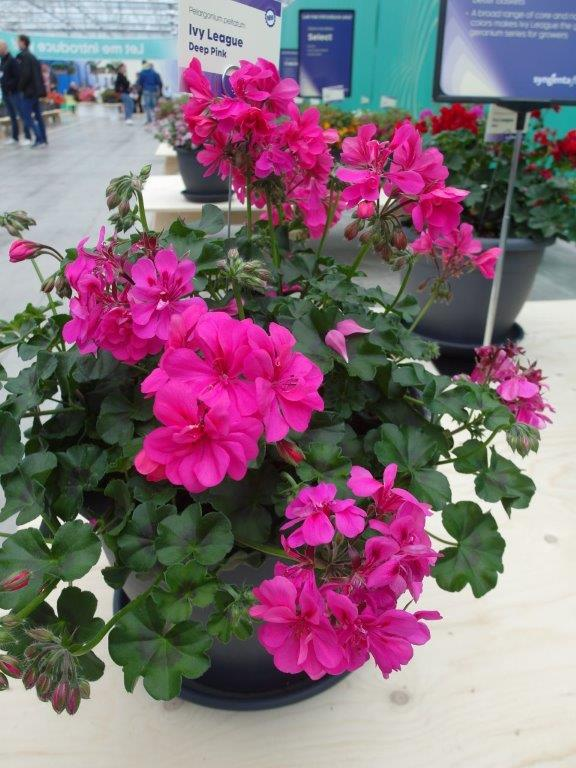 Pelargonia Ivy-League 'Deep Pink'