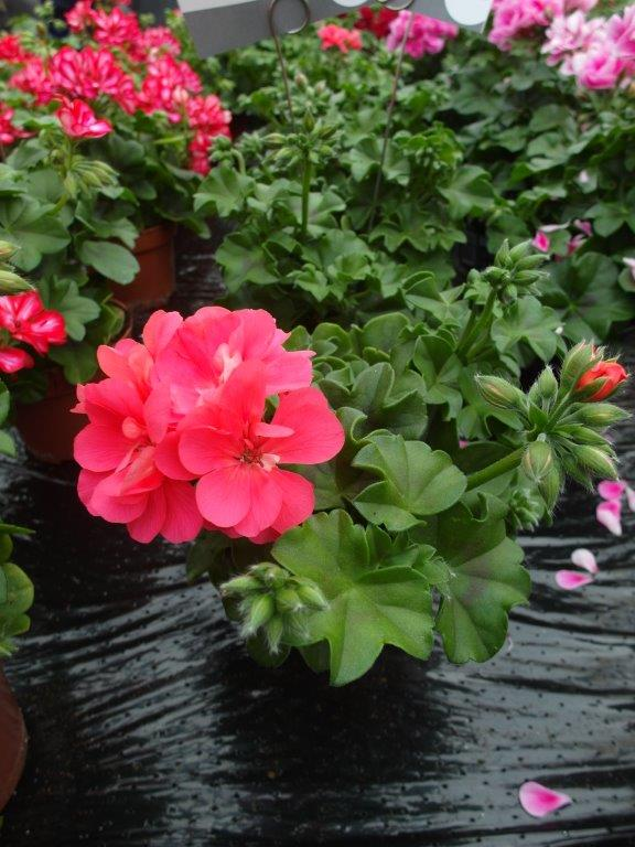 Pelargonia Royal@ 'Coral'