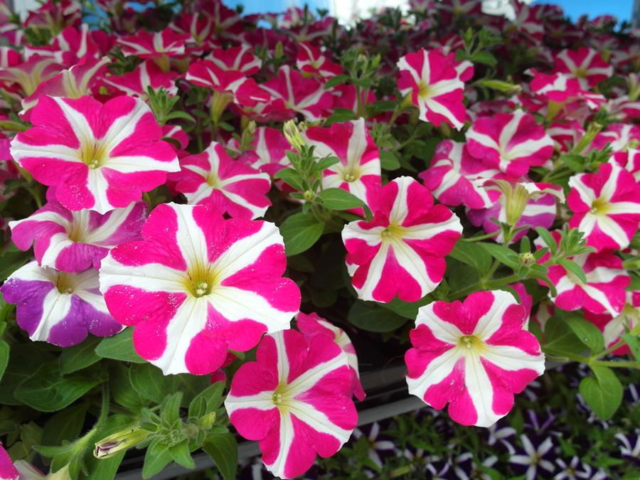 Petunia-Amore-Pink-Heart