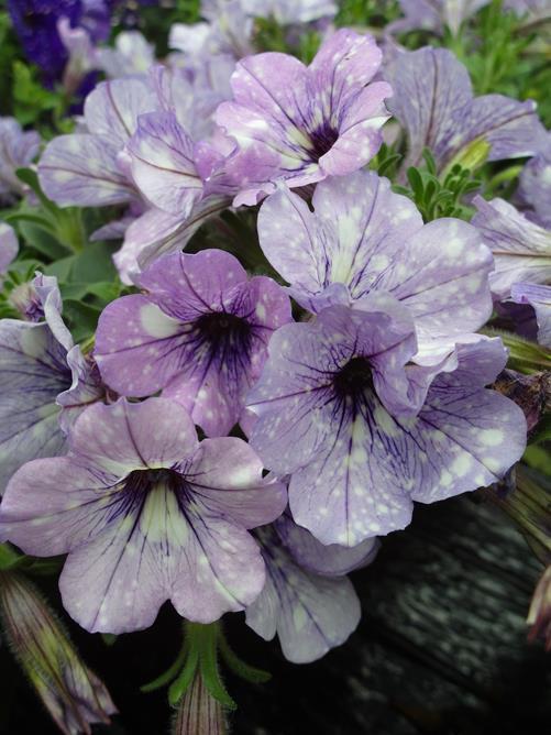 Petunia-LavenderSky