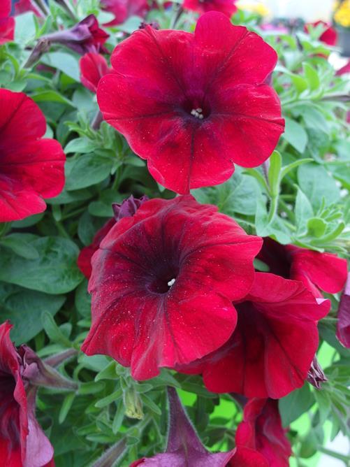 Petunia-Sanguna-Deep-Burgundy