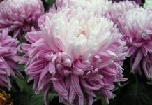 Chryzantemy – cmentarne kwiaty?