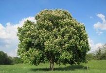 Europejskim gatunkom drzew grozi wyginięcie