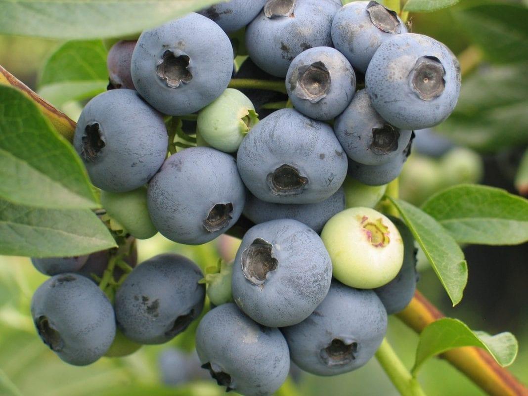 odmiana borowki Bluecrop