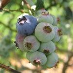 Najlepsze odmiany borówki dla Ukrainy