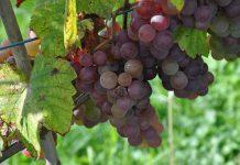 W oczekiwaniu na nową ustawę winiarską