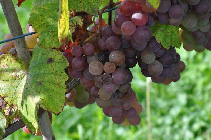 winogrona, fot. J. Klepacz-Baniak