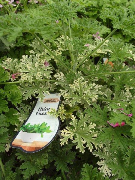 Pelargonia o liściach pachnących miętą