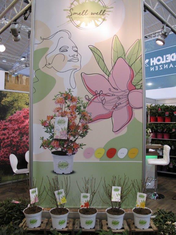Seria odmian azalii wielkokwiatowych wyselekcjonowana ze względu na zapach kwiatów
