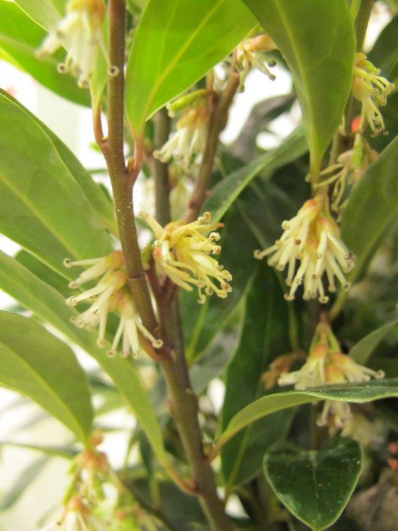 Niepozorne kwiaty roślin z rodzaju Sarcococca