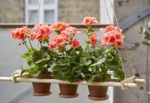 Wskazów dotyczące sadzenia pelargonii