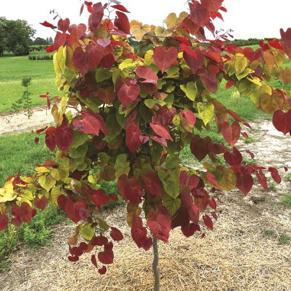 Cercis Flame Thrower
