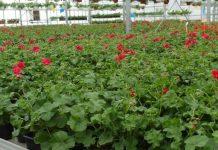 Trudna sytuacja branży kwiaciarskiej